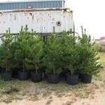 Potted Lodgepole Pine